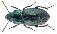 Image of Harpalus rubripes