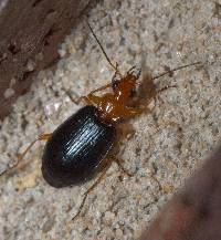 Image of Lebia atriventris