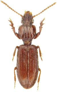 Image of Schizogenius amphibius