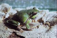 Image of Hyla andersonii