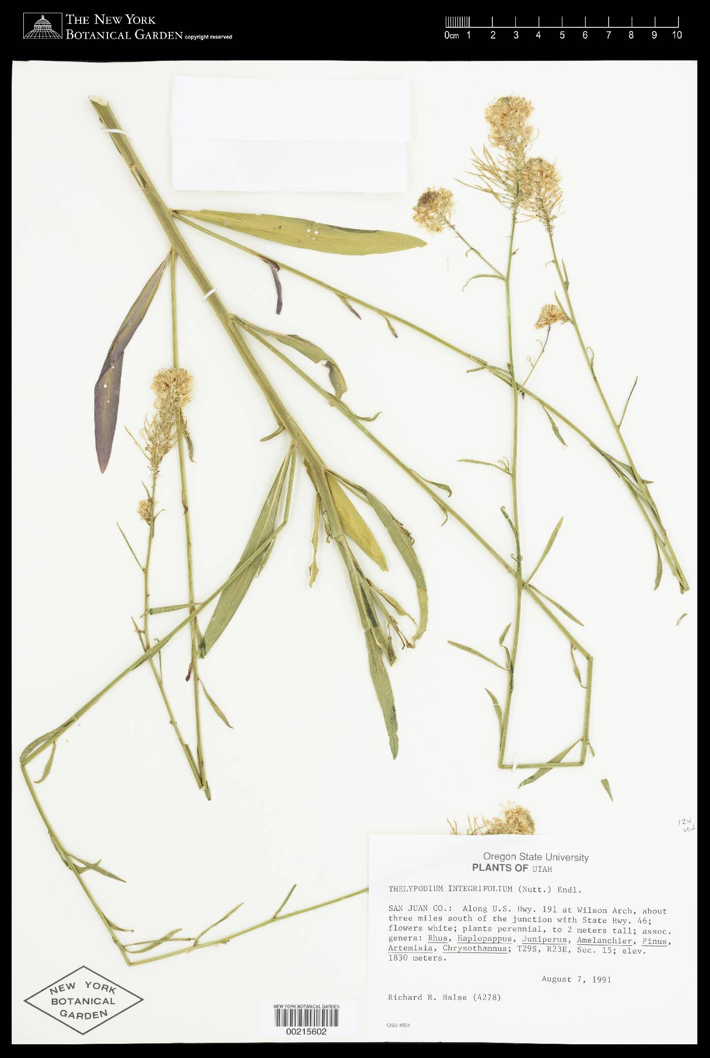 Thelypodium integrifolium subsp. gracilipes image