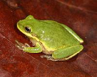 Image of Hyla squirella